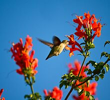 Hummingbird by HanieBCreations