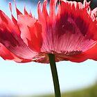 Poppy by Heike Richter
