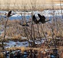 Canadian Geese Over Skunk Creek by Scott Hendricks
