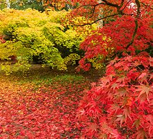 Westonbirt Autumn VIII by Chris Tarling