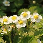 strawberry blossoms with dew by Jicha