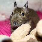 Adorable Degus by lmaiphotography