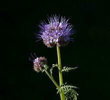 Phacelia tanacetifolia Wild flower  by Sue Robinson