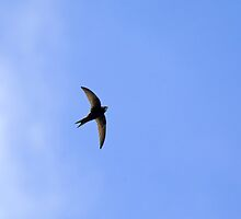 Common Swift and cloud by Sue Robinson