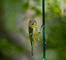Blue Tit fledgling clinging by Sue Robinson