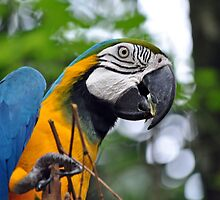 Blue and Yellow Macaw, Singapore by Marcelle Moran