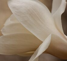 Magnolia Bloom by Denise Worden