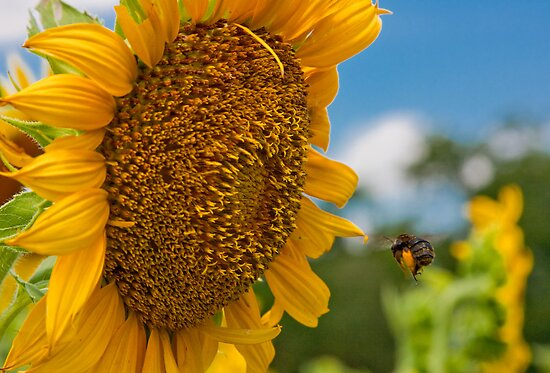 Bee & Sunflower by Denise Worden