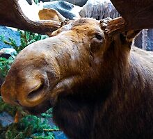 Big Bull Moose by mamasita