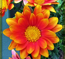 Colour me orange! Velvety Cape Daisy by MidnightMelody