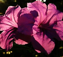 Mexican Petunia two by gregAllore