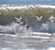 Piping Plovers in Flight by Robin Lee
