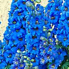 Blue, Blue Delpheniums by Sandra Foster