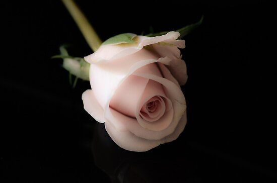 wax rose on black background by Nicole W.