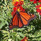 Beautiful Butterfly by Anne E Colturi