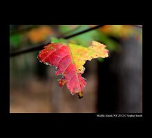 Yellow And Red Maple Leaf In Autumn - Middle Island, New York  by © Sophie W. Smith