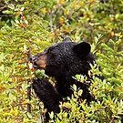 Dainty Black Bear by Andrew Potton