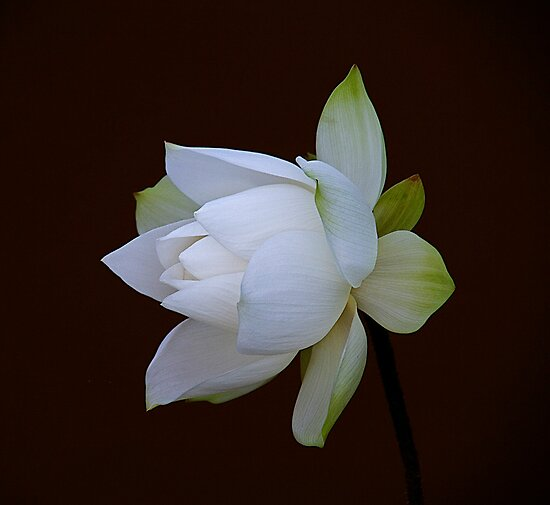 200809300855 White Lotus by Steven  Siow