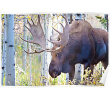 Sad Ending For A Stunning Bull Moose Poster