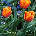 Beautiful red-orange tulips by Fran Woods