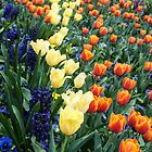 Colourful tulips and hyacinths by Fran Woods