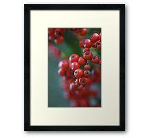 Firethorn Berries  Framed Print