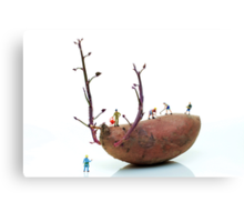 Cultivation on a sweet potato Canvas Print
