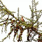 finch singing in larch by Jicha