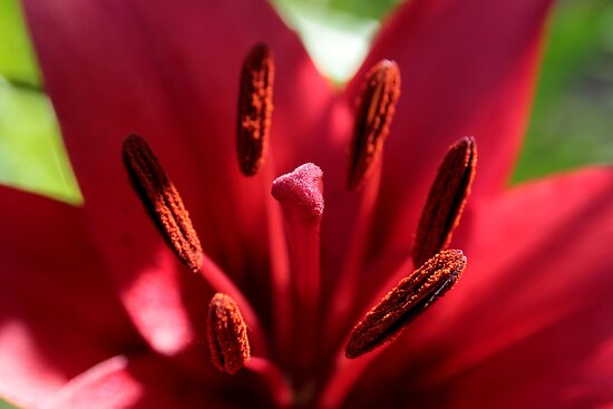 Red Lily by Ken Glotfelty