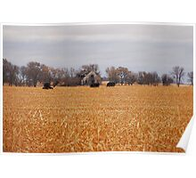 Cows In The Corn Poster