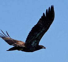 Flying Free, Juvenile Bald Eagle, Jordan Lake, NC by Denise Worden