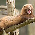 Mink yawn by Anthony Brewer