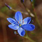 Wildflowers of Western Australia (2) by kalaryder