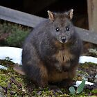 Pademelon by saj255