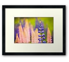 Lupin Flowers, Norway Framed Print