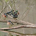 Wood Duck Males by KatMagic Photography