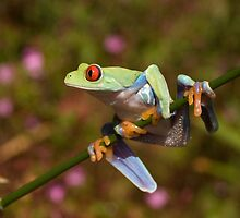 Red eyed tree frog on a stalk by AngiNelson