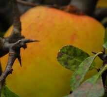 Apples for cider by MarianBendeth