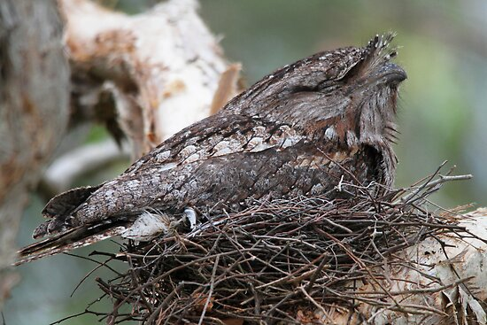 Dads On The Nest by byronbackyard