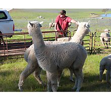 'YOU WATCH OVER THERE & I'LL WATCH OVER HERE'! Alpaccas on the job. Photographic Print