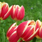Spring Tulips by ninthcircle