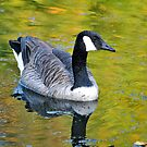 Canadian Goose by savvysisstudio