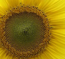 Sunflower by pcbermagui