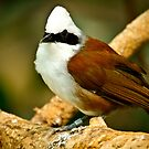 White Crested Laughing Thrush by Tim Denny