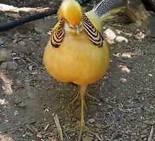 A Yellow Golden Pheasant...... by DonnaMoore