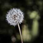 Dandelion in garden by Phillip Shannon