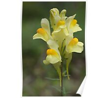 Yellow Toadflax Poster