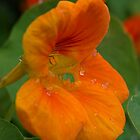 Nasturtium by marens