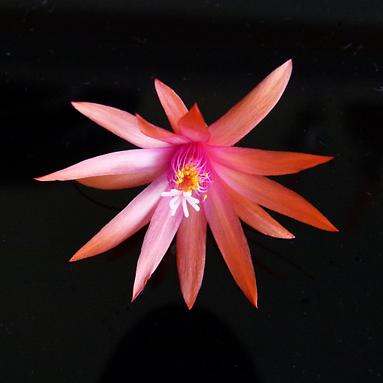 Zygocactus : Schlumbergera truncata 2 by Trish Meyer