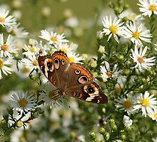 Common Buckeye Butterfly by Gregg Williams